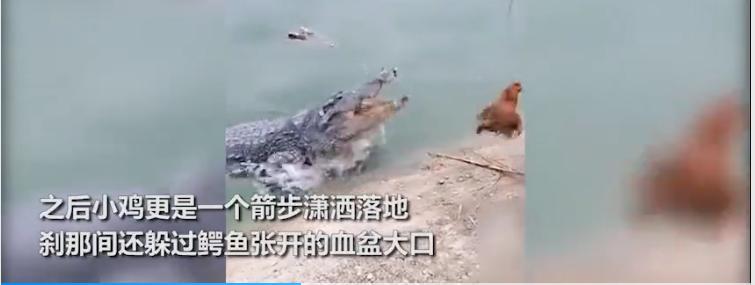 可怕!国外一只小鸡在鳄鱼面前不停晃悠 惨遭一秒甩头击杀【图】